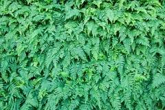 Плотное листво Стоковое Изображение