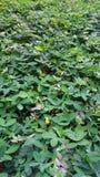 плотное листво Стоковая Фотография