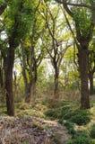 Плотные древесины стоковая фотография rf