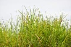 Плотные травы Стоковое Изображение RF
