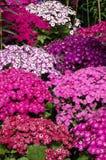 Плотный ковер розовых цветков Стоковое фото RF