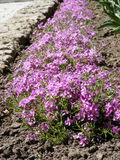 Плотный ковер фиолетовых малых цветков Стоковое Изображение