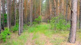 Плотный, сосновый лес Стоковая Фотография