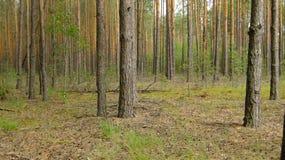 Плотный, сосновый лес стоковые фотографии rf