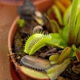 Плотоядные ловушки мухы Венеры Стоковое Фото