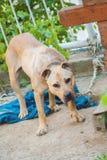 Плохая прикованная собака Стоковые Фото