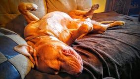 Плохое pitbull Стоковые Фото