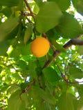 Плодоовощи абрикоса Стоковые Фото