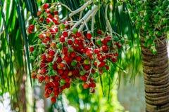Плодоовощи ладони, Филиппины Стоковое Фото