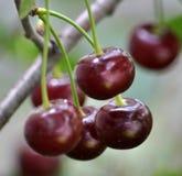 Плодоовощи вишен с черенок Стоковая Фотография RF