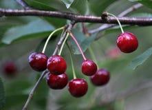 Плодоовощи вишен с stalks_2 Стоковая Фотография RF