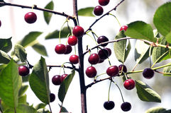 Плодоовощи вишен с stalks_4 Стоковые Изображения RF