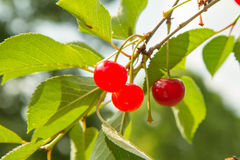 Плодоовощи вишни Стоковое Фото