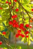 Плодоовощи вишни Стоковые Фото
