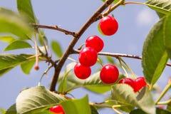 Плодоовощи вишни Стоковые Фотографии RF