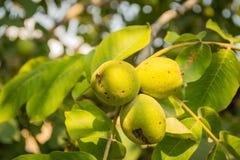 Плодоовощи грецкого ореха Стоковые Фото
