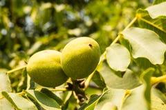 Плодоовощи грецкого ореха Стоковое фото RF