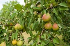 Плодоовощи груши Стоковые Изображения RF