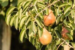 Плодоовощи груши Стоковая Фотография RF