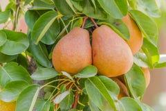 Плодоовощи груши Стоковая Фотография