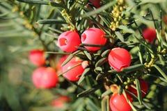 Плодоовощи дерева Yew Стоковая Фотография