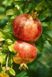 плодоовощи зреют pomegranate Стоковая Фотография