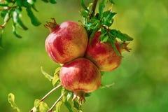 плодоовощи зреют pomegranate Стоковая Фотография RF