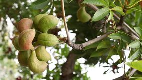 Плодоовощи индейца Medicated Ayurveda сток-видео