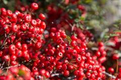 Плодоовощи красного цвета которое зрело и плотно стоковые изображения