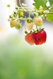 Плодоовощи клубники Стоковая Фотография RF