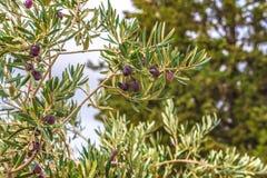 Плодоовощи оливок на ветви дерева Стоковые Изображения