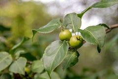 Плодоовощи одичалой груши зреют на дереве Стоковые Изображения