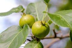 Плодоовощи одичалой груши зреют на дереве Стоковые Фотографии RF
