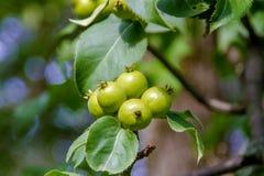 Плодоовощи одичалой груши зреют на дереве Стоковое Изображение RF