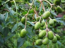 Плодоовощи сырцовой сливы борова & x28; Pinnata& x29 Spondias; стоковые фотографии rf