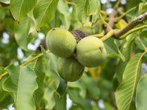 Плодоовощи regia Juglans на ветви 4 в пуке Стоковая Фотография