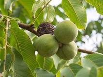 Плодоовощи regia Juglans на ветви Стоковая Фотография RF