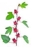 Плодоовощи Roselle стоковые изображения rf