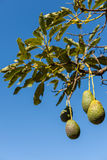 Плодоовощ авокадоа на ветви окруженной с листьями Стоковая Фотография RF