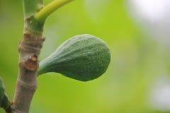 Плодоовощ авокадоа на дереве Стоковые Фотографии RF