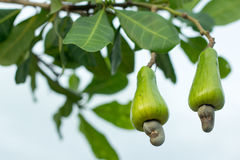 Плодоовощ анакардии на дереве Стоковые Фото
