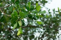 Плодоовощ анакардии на дереве Стоковое Фото