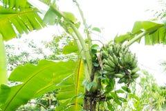 Плодоовощ банана на дереве, от бананового дерева не сильн стоковые фото