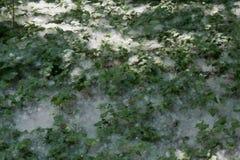 Плодоовощ белого тополя Стоковое Фото