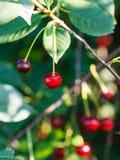 2 плодоовощ вишни красного цвета зрелых на дереве Стоковое Изображение RF