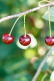 3 плодоовощ вишни красного цвета зрелых на хворостине Стоковое фото RF