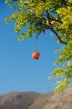 Плодоовощ в расплывчатой предпосылке, тропический плодоовощ гранатового дерева Стоковое Изображение RF