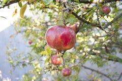Плодоовощ гранатового дерева на ветви дерева Стоковые Изображения RF