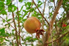Плодоовощ гранатового дерева на ветви дерева Стоковая Фотография RF