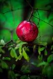 Плодоовощ гранатового дерева Стоковое Изображение RF